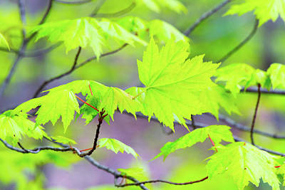 Photograph - Fresh Maple Leaves by SR Green