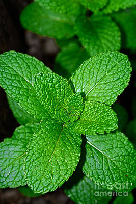 Photograph - Fresh Mint By Kaye Menner by Kaye Menner