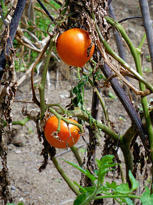 Leaf Photograph - Fresh Organic Tomatoes 7 by Lanjee Chee