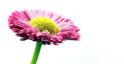 Closeup Photograph - Fresh Pink Daisy Flower Isolated On White by Michal Bednarek