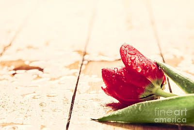 Gardening Photograph - Fresh Red Tulip Flower On Wood by Michal Bednarek
