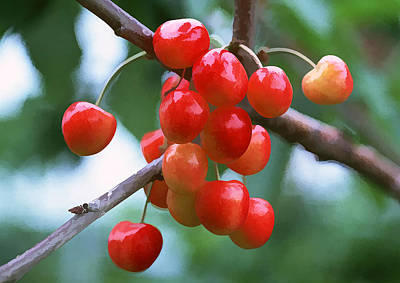 Fresh Sweet And Juicily Cherries On Tree Art Print