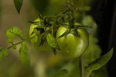 Photograph - Fresh Tomato by Ramabhadran Thirupattur