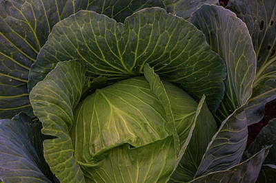 Photograph - Fresh Vegetable Garden Cabbage by James BO Insogna