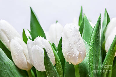 Closeup Photograph - Fresh White Tulip Bouquet With Water Drops Close-up On White Background by Michal Bednarek