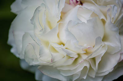Photograph - Freshly Cut Peony by Amanda Rimmer