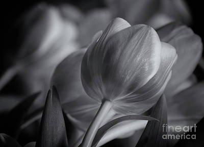 Photograph - Freshly Cut Tulips Mono by Rachel Cohen