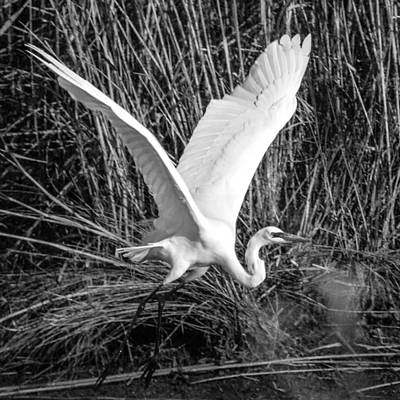 Photograph - Freshwater City Egret by Gregory Daley  PPSA