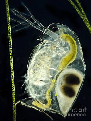 Water Flea Photograph - Freshwater Flea Daphnia Sp., Lm by Rub�n Duro/BioMEDIA ASSOCIATES LLC