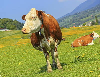 Photograph - Fribourg Cow Resting, Switzerland by Elenarts - Elena Duvernay photo