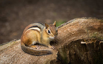Photograph - Friendly Chipmunk by Paul Miller