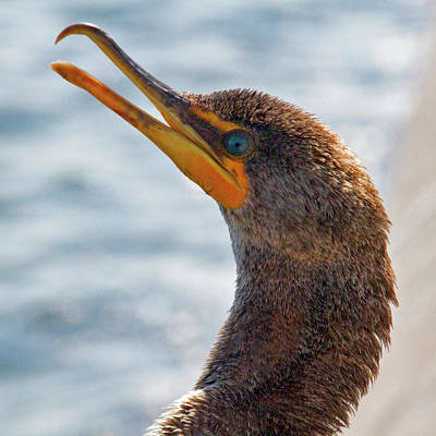Photograph - Friendly Cormorant 1 by Bob Slitzan
