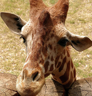 Photograph - Friendly Giraffe by Laurel Powell