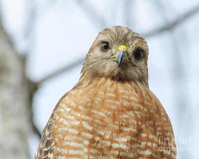 Sean - Friendly Hawk by May Finch