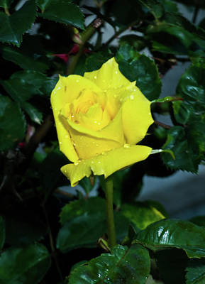 Friendship Yellow Rose With Dewdrops Art Print