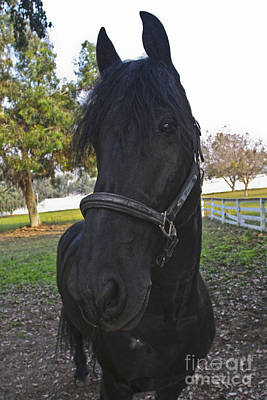 Photograph - Friesian Horse Head by Waterdancer