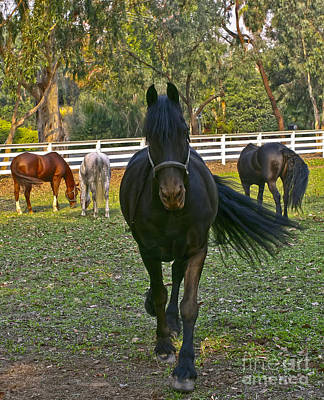 Photograph - Friesian Horses - Pasture by Waterdancer
