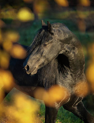 Photograph - Friesian In Gold by Ekaterina Druz