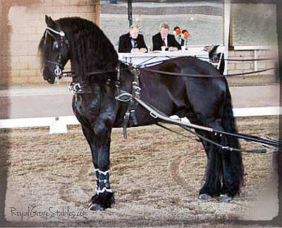 Photograph - Friesian Stallion Under Harness by Royal Grove Fine Art