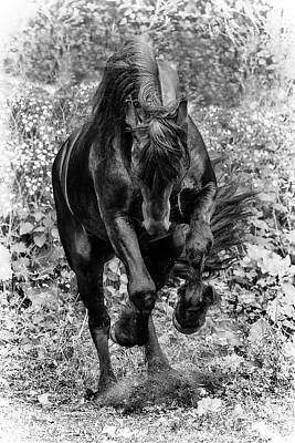 Photograph - Friesian Stallion by Wes and Dotty Weber