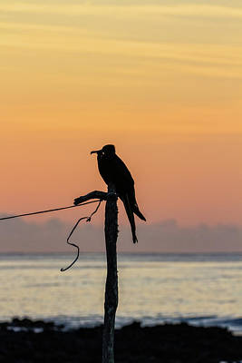 Photograph - Frigate Bird At Sunset by John Haldane