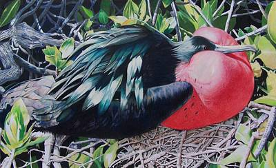 Frigate Bird  Art Print