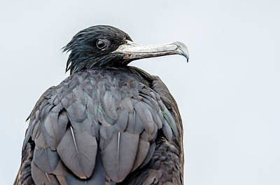 Photograph - Frigate Bird by Harry Strharsky