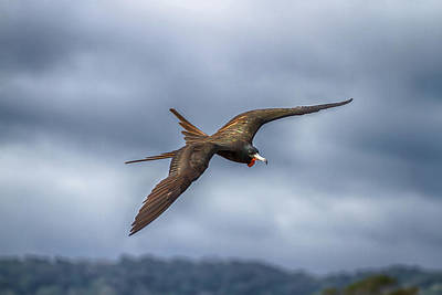 Photograph - Frigate Bird by John Haldane