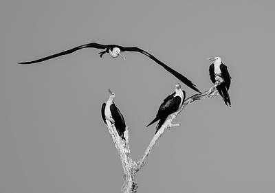 Photograph - Frigate Birds  by John Repoza