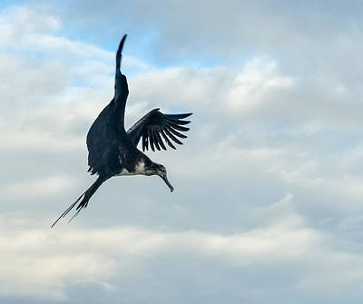 Photograph - Frigate Fish Dive by Harry Strharsky