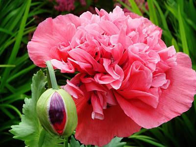 Photograph - Frilled Poppy by Yvonne Johnstone