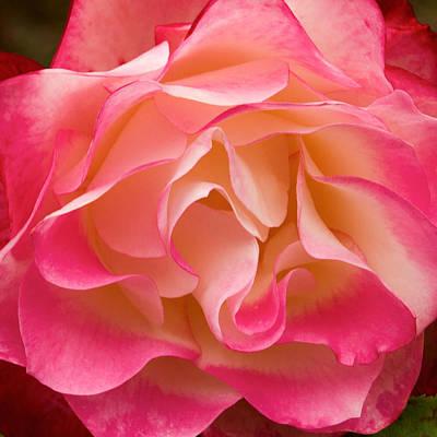 Photograph - Frills Of A Rose by Bonnie Follett