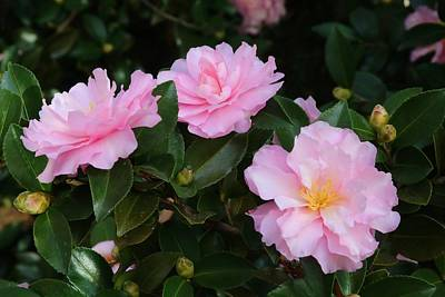 Photograph - Frilly Camellias 1 by Kathryn Meyer