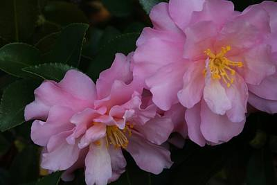 Photograph - Frilly Camellias 2 by Kathryn Meyer