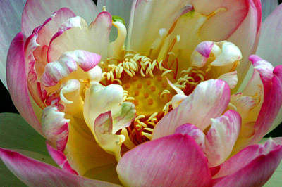 Nature Center Pond Digital Art - Frilly Lotus by Annie Johnson
