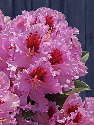 Photograph - Frilly Pink Rhododendron by Gill Billington