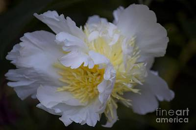 Photograph - Frilly White Peony II by Terri Thompson