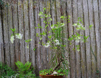 Photograph - Fringe Tree Bonsai With Fence by rd Erickson