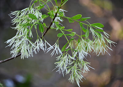 Photograph - Fringe Tree Flowers - Chionanthus Virginicus by rd Erickson