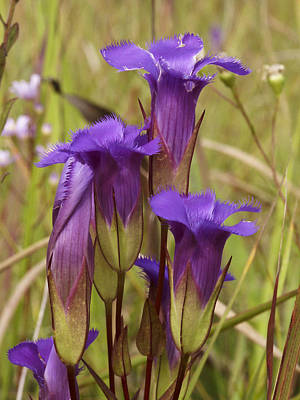 Photograph - Fringed Gentian 0088 by Peter Skiba