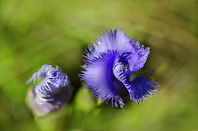 Photograph - Fringed Gentian by Ann Bridges