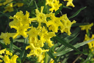 Photograph - Fringed Puccoon by Robyn Stacey