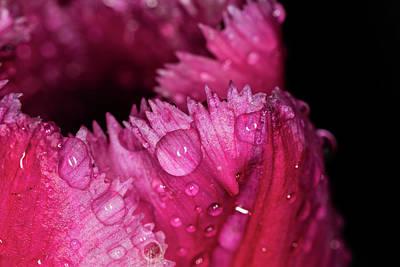 Photograph - Fringed Tulip by Jay Stockhaus