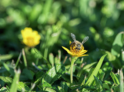 Photograph - Fringey-winged Bee by William Tasker