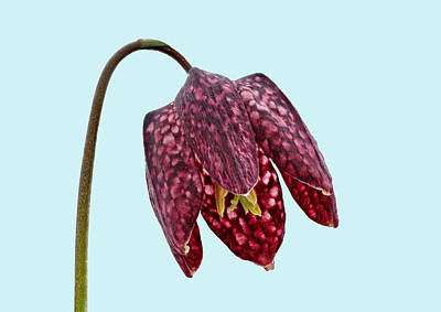 Photograph - Fritillaria Meleagris Blue Background by Paul Gulliver