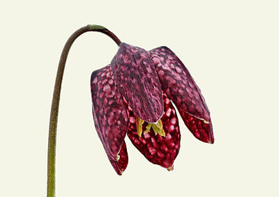 Photograph - Fritillaria Meleagris Cream Background by Paul Gulliver