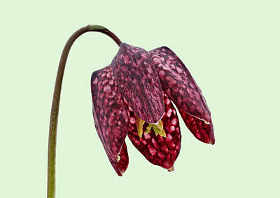 Photograph - Fritillaria Meleagris - Green Background by Paul Gulliver