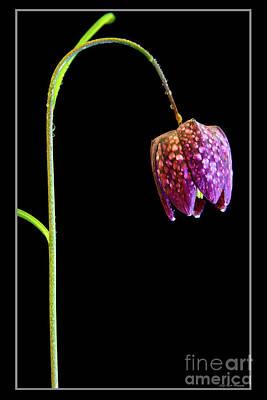 Photograph - Fritillaria Meleagris, Snakes Head Fritillary by Andy Myatt