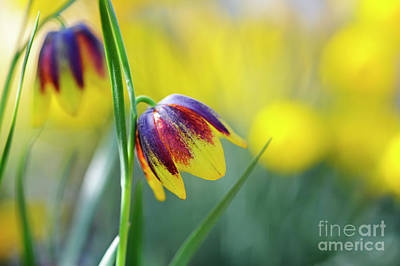 Flower Blooms Photograph - Fritillaria Reuteri by Tim Gainey
