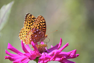 Photograph - Fritillary 1 by Brian Hale